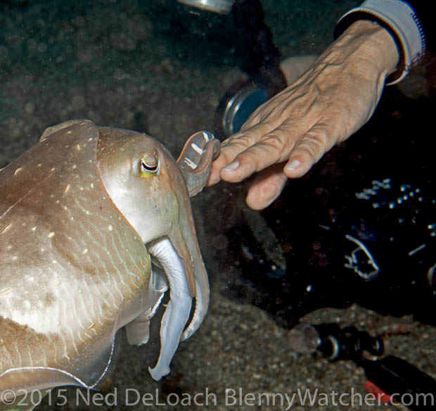 A cuttlefish touching diver's hand