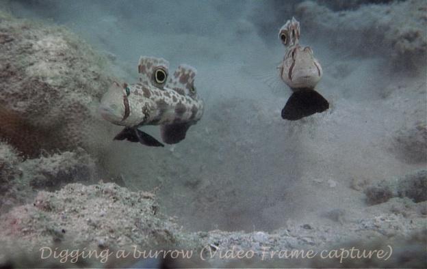 Signal Gobies Crabeye Goby Signigobius biocellatus