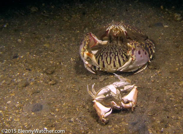 Ocellate Box Crab, Calappa ocellata, female grasped by male; her molted shell left behind
