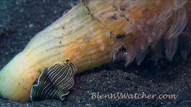 Armina eating sea pen BlennyWatcher.com Anna DeLoach