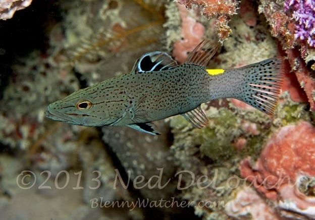 Arrowhead Soapfish Ned DeLoach BlennyWatcher.com