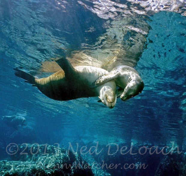Baja Sea Lions Ned DeLoach BlennyWatcher.com