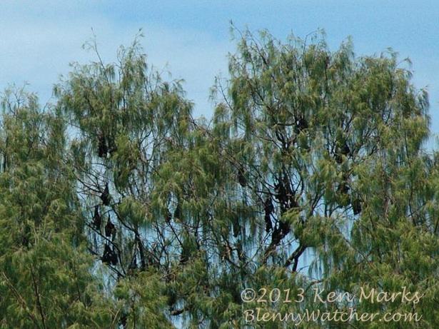 Bats of Wai Island Ken Marks BlennyWatcher.com