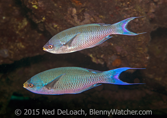 Bermuda Creole Wrasse - Blennywatcher's 2016 Review