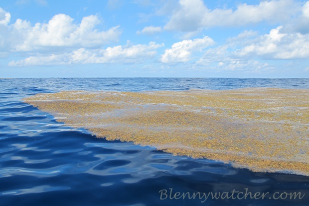 Bermuda Sargassum BlennyWatcher.com