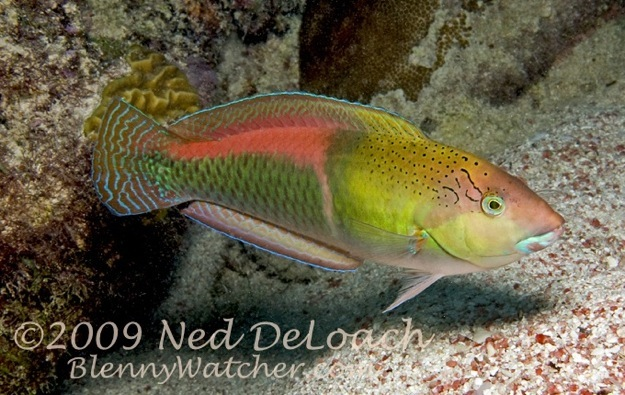 Bermuda Yellowhead Wrasse Ned DeLoach BlennyWatcher.com