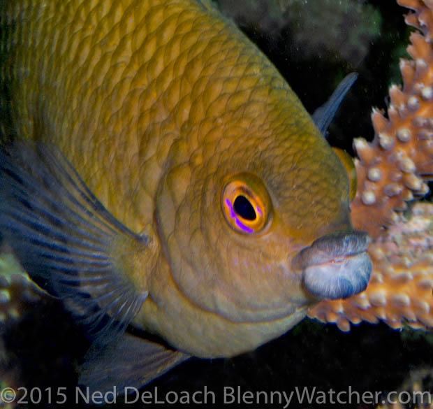 Big-lip Damsel, Cheiloprion labiatus
