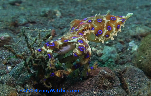 Blue Ringed Octopus catches Crab from BlennyWatcher.com