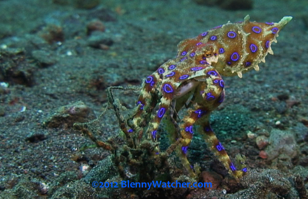 Blue Ring Octopus with crab from BlennyWatcher.com