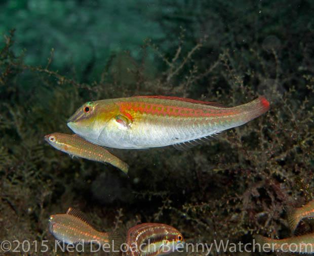 Bluelip Parrotfish male courting harem