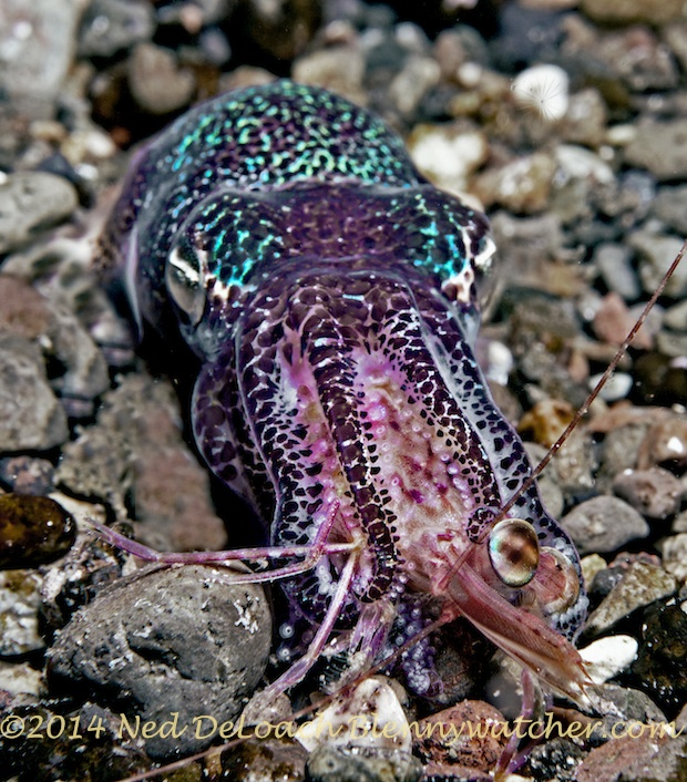 Bobtail squid eating a shrimp Ned DeLoach