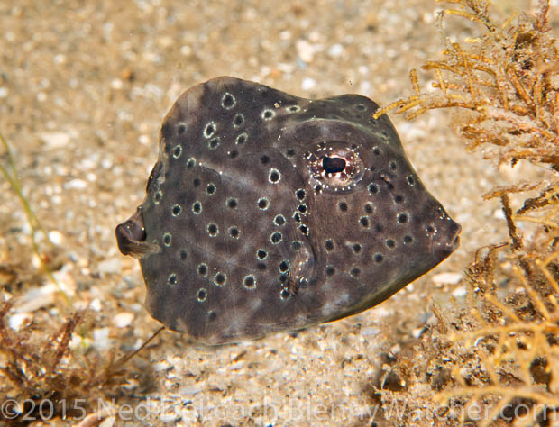 Trunkfish, formerly commonly known as Buffalo Trunkfish, Lactophrys trigonus juvenile