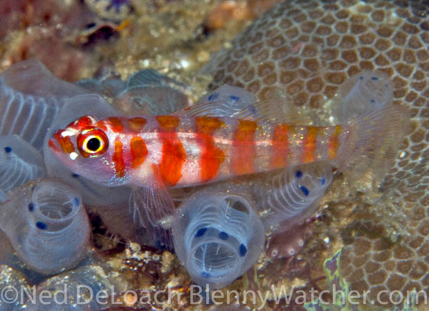 Candycane goby