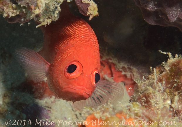 Cardinal Soldierfish (Plectrypops retrospinis) by Mike Poe via Blennywatcher.com