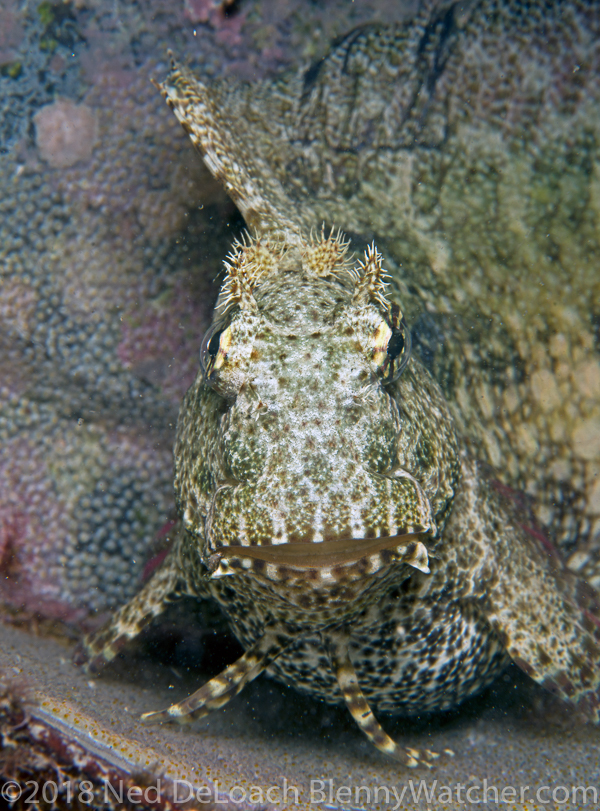 Ceram blenny eggs, Salarias ceramensis male with eggs, photo by Ned DeLoach