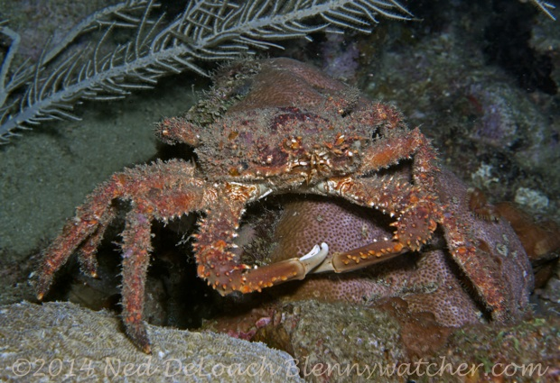 Channel Clinging Crab Ned DeLoach