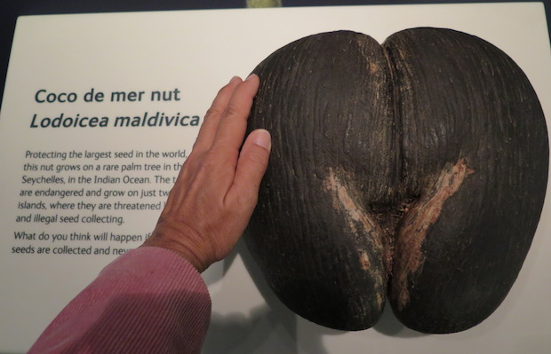 Natural History Museum, London - Coco de mer - the largest sea bean of all