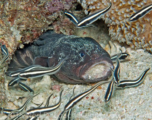 Convict fish adult, Pholidichthys leucotaenia