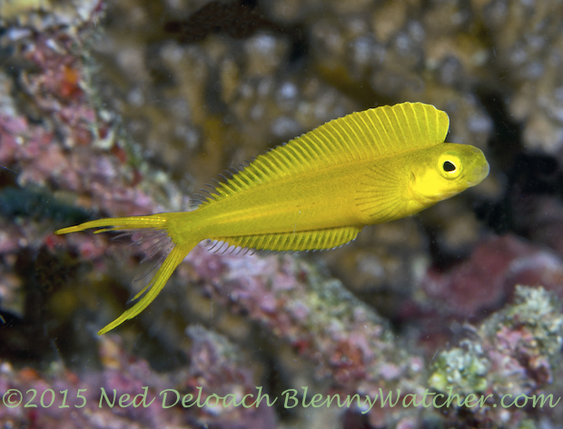 Fiji Fangblenny, Plagiotremus flavus