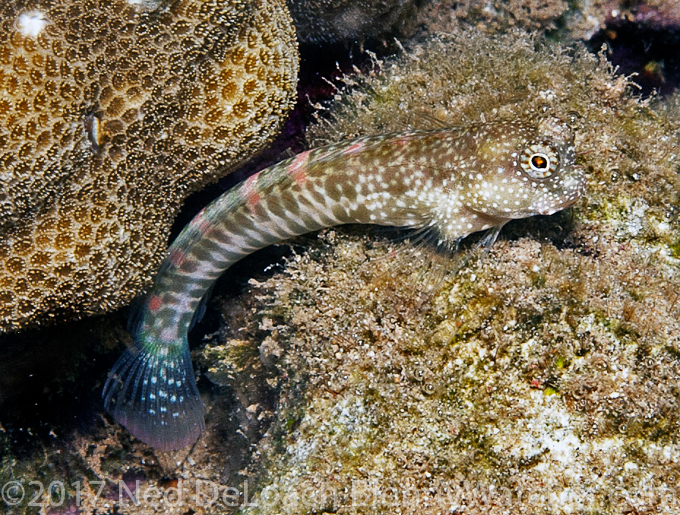 Fine-spotted Blenny - The Reluctant Blenny Hunters