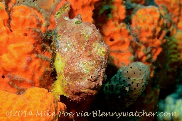 Longlure Frogfish (Antennarius multiocellatus) - Mike Poe