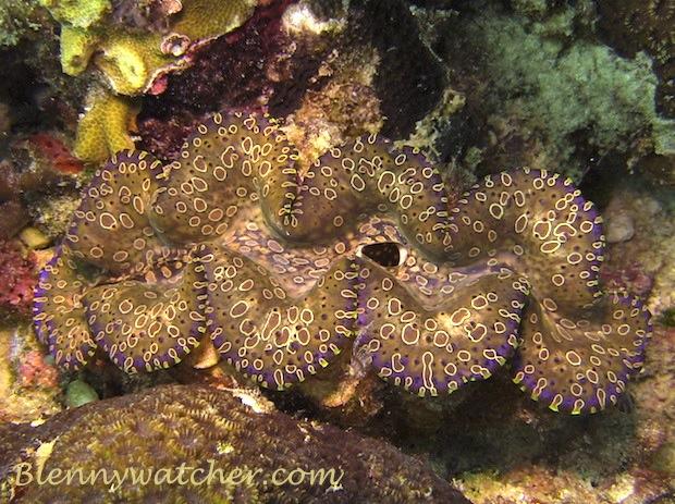 Giant Clam, Tridacna gigas - Banda Sea, Indonesia