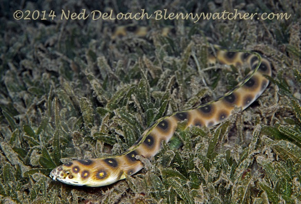 Goldspotted Snake Eel (Myrichthys ocellatus)