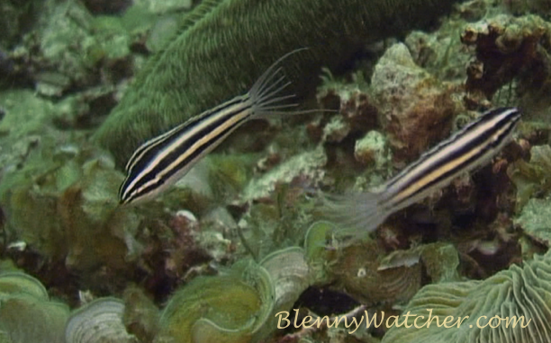 Harptail Blenny Anna DeLoach BlennyWatcher.com