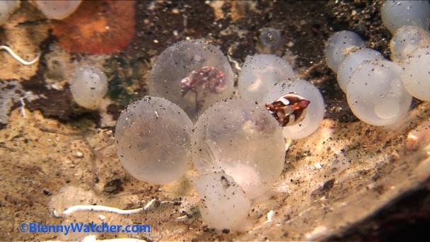 Hatching Cuttlefish frame grab Blenny Watcher Blo