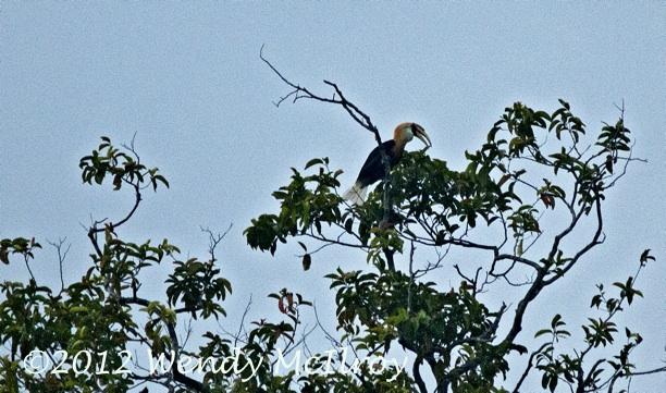 Hornbill on Batanta by Wendy McIlroy via BlennyWatcher.com