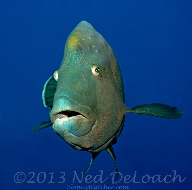 Humphead Wrasse Ned DeLoach BlennyWatcher.com