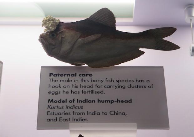 Kurtus indicus from Natural History Museum in London