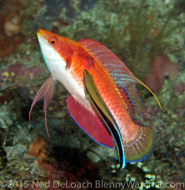 Irian Jaya Fairy Wrasse being cleaned