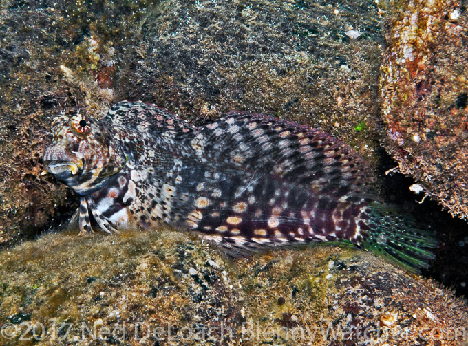 Jeweled Blenny - The Reluctant Blenny Hunters