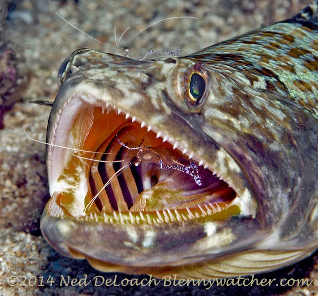Lizardfish being cleaned by shrimp - Dominica