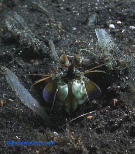 Mantis shrimp from BlennyWatcher.com