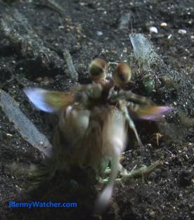Mantis shrimp attacks camera from BlennyWatcher.com