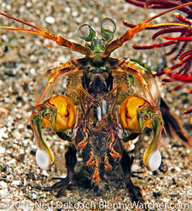 Anilao Portfolio: Mantis shrimp