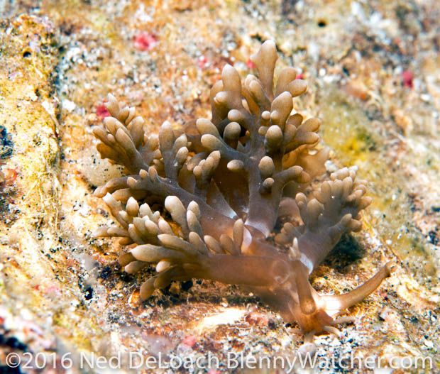 Melibe from Lembeh