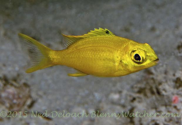 Monocle Bream, Scolopsis bilineatus, yellow variation