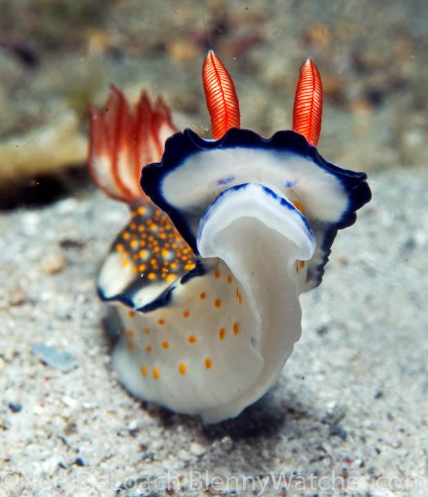 Nudibranch face