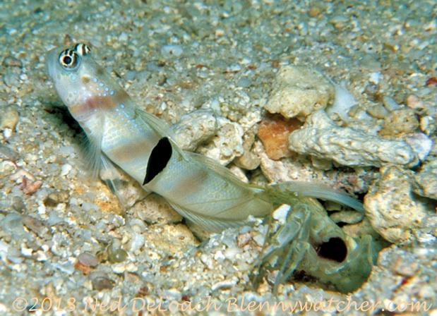 Nudibranch on Goby Fiji Ned DeLoach Blennywatcher.com