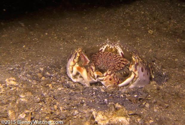 Ocellate Box Crab, Calappa ocellata, male grasping a female