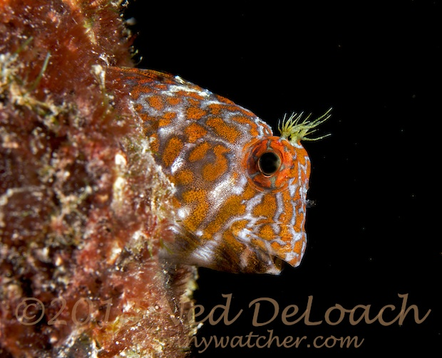 Orangespotted Blenny by Ned DeLoach Bonaire Blennywatcher.com