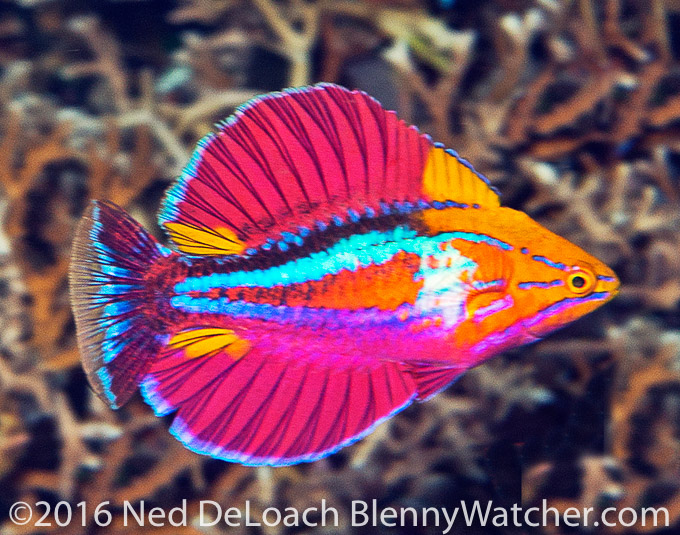 A new flasherwrasse, Paracheilinus alfiani (photo by Ned DeLoach)