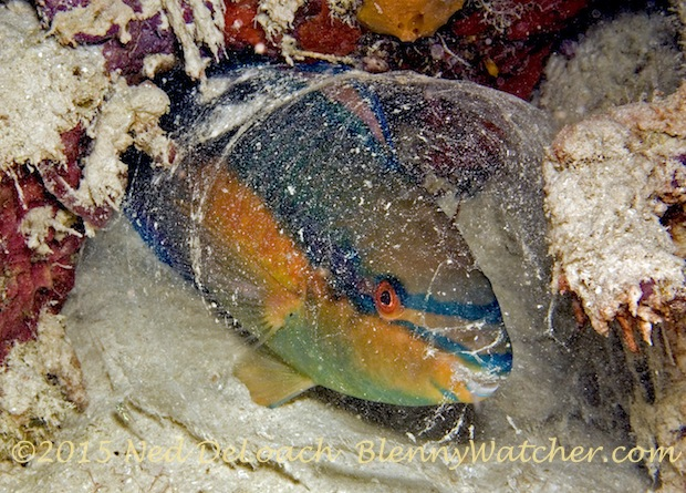 Parrotfish sleeping in a mucous cocoon