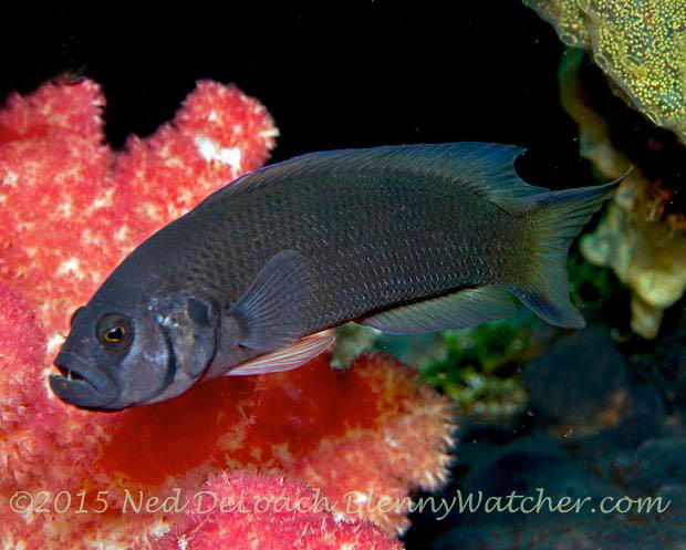 Pseudochromis moorei, Yellow Dottyback female in Dumaguete, Philippines