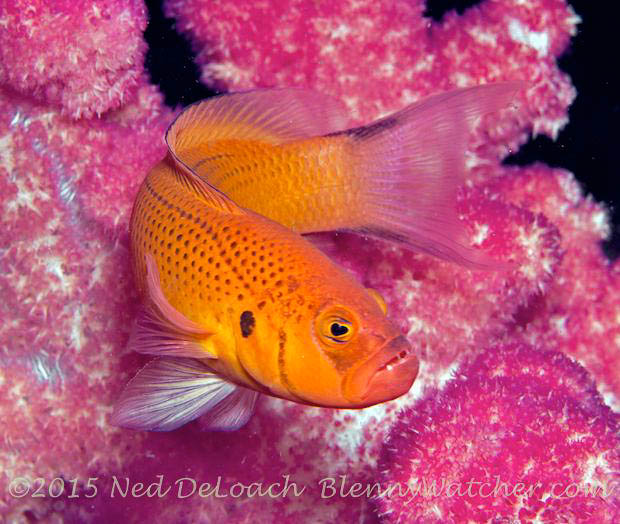 Pseudochromis moorei, Yellow Dottyback male in Dumaguete, Philippines