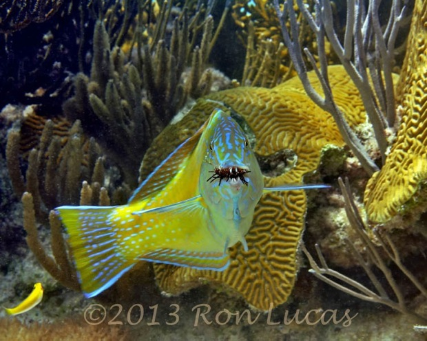 Puddingwife eating by Ron Lucas