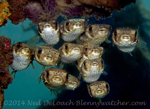 Balloonfish Dominica Ned DeLoach Blennywatcher.com